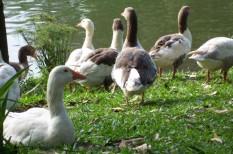 agrárium, agrártámogatás, állattenyésztés, európai bizottság, libamáj, madárinfluenza, mezőgazdaság