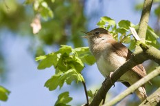 állatvédelem, fülemüle, klíma, környezetvédelem, madárles, programajánló