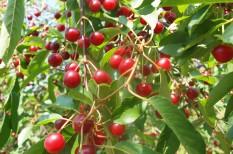 gyümölcstermesztés, meggy, nemesítés, nyári ételek, pipacs1