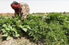 afrika, egészség, fao, menekültek, növénytermesztés, padlizsán