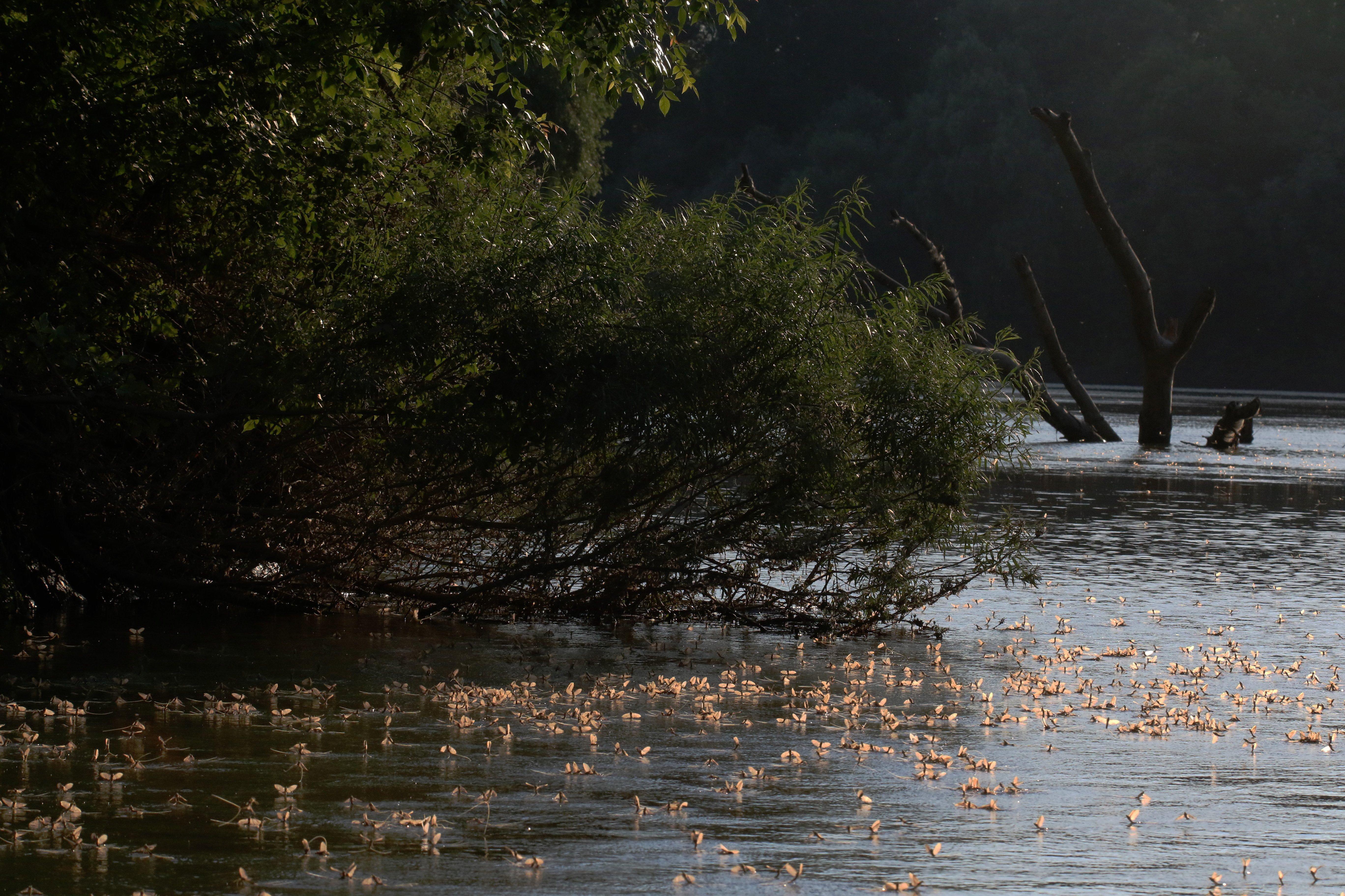 Nagykörû, 2017. június 19. Tiszavirágok (Palingenia longicauda) násztánca a Tiszán, Nagykörû közelében 2017. június 18-án. A legnagyobb termetû kérészfajunk a tiszavirág, természetvédelmi értéke egyedenként tízezer forint. A kérész napjainkra csak a Tiszán, illetve egy-két mellékfolyóján - fõként a Kõrösön - lelhetõ fel. MTI Fotó: Bugány János