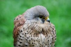 állatvédelem, Magyar Madártani Egyesület, mesterséges fészek, vándormadarak, veszélyeztetett faj