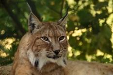 állatvédelem, hiúz, környezetvédelem, nagymacska, veszélyeztetett faj, wwf, zemplén