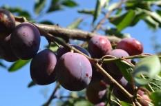 export, gyümölcstermesztés, szilva, termés