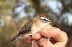 európa élővilága, fülemüle, madarak, madárles, Magyar Madárgyűrűzési Központ, veszélyeztetett faj