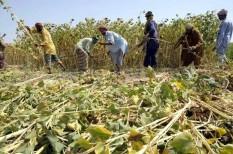 élelmiszerárak, gabonaárak, növénytermesztés, túltermelés