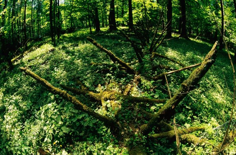 Bialowieza National Park, Lengyelország (Kép: Sanchez and Lope -WWF)