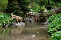 duna, erdőirtás, európa, farkas, hiúz, kárpátok, klíma, Környezeti bűnözés, környezetvédelem, medve, vadvilág