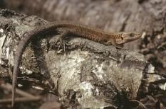 eszmei érték, hüllő, környezetvédelem, természetvédelem, veszélyeztetett faj