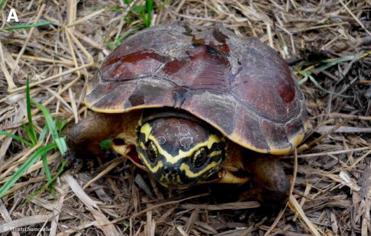Malayemys isan (Kép: WWF)
