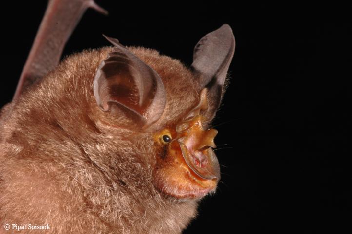 Rhinolophus monticolus (Kép: WWF)