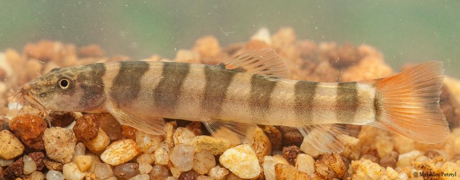 Schistura kampucheensis (Kép: WWF)