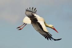 gólyák, jeladó, kísérlet, kutatás, madarak, vonulás