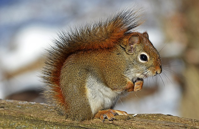 Kihaló faj a vörös mókus is Nagy-Britanniában - Kép: Pixabay