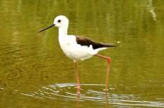 az év madara, környezetvédelem, vándormadarak