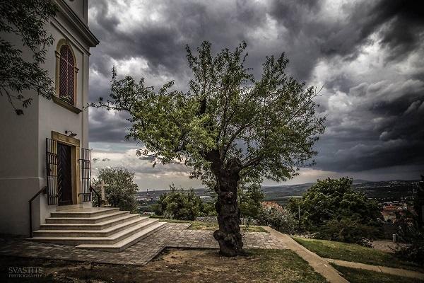 A pécsi magyar győztes mandulafa